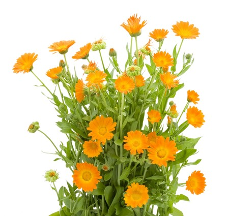 Bushes  of orange Calendula flowers background . Isolated on white.