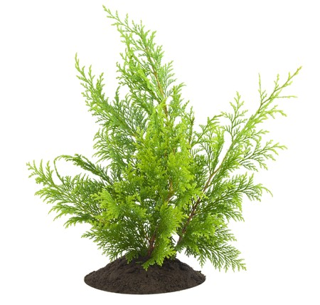 thuja: Young sapling of evergreen thuja  on bed, isolated on white  postcard background.