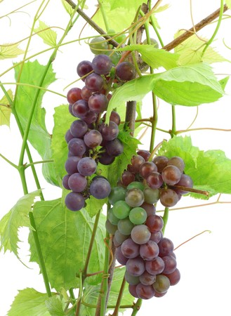 unripe: Unripe red grapes, unripe berries. Isolated on white.