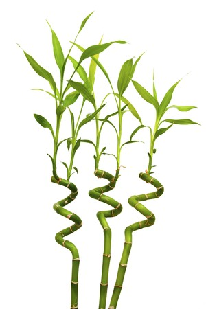 Three decorative helicoid sprouts of a green bamboo isolated on white photo
