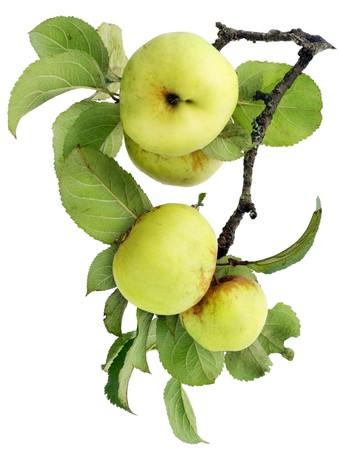 albero di mele: Mele vera e propria verdi su un ramo con foglie isolata on white