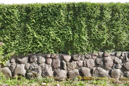 Fragmentos de una cobertura de valla rural de plantas perennes (la Thuja) Foto de archivo - 8332896