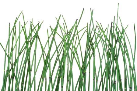 equisetum: Horsetail  Equisetum plant  isolated  on white background