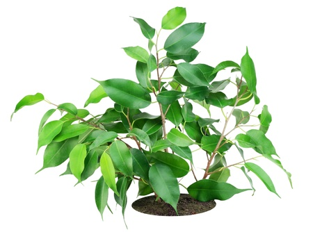 ficus: Favourite indoor plant Ficus on bed isolated on white Stock Photo
