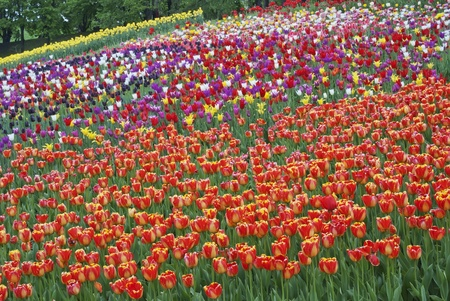 Black, red, yellow, pink and white tulips grow on a meadow spring background Stock Photo - 9646734