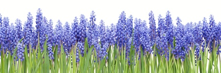 "Big border collage background from first blue springs flowers "" Muscari"" isolated"