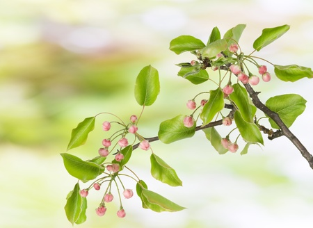 Branch of a spring apple-tree with pink buds of flowers,  abstract background Stock Photo - 9645912