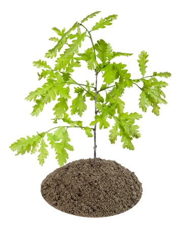 Small sapling,  sprout of the European oak tree has grown on a bed from compost,  humus. Isolated on white