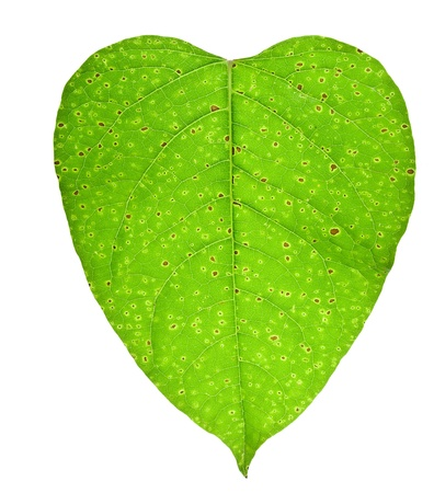 blood vessels:  Heart with blood clots of vessels concept. Sick green leaf  of a plant isolated