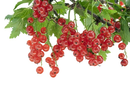 Clusters of berries of a ripe red currant hang on a branch isolated