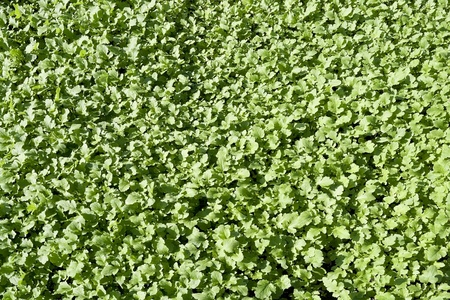 mustard plant: Young sprouts of green  mustard plant grass and solar day background