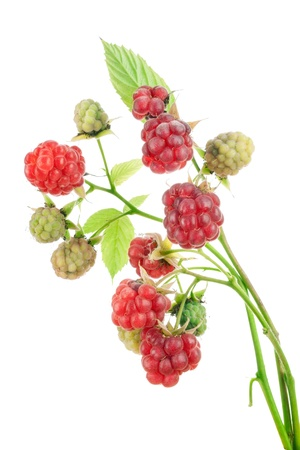 Ripe and unripe red and green  berries of a raspberry on branches isolated Stok Fotoğraf
