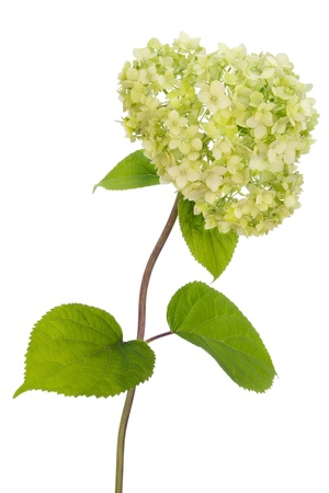 Branch of a lonely  Hydrangea bush. Isolated on white