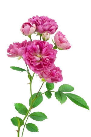 summer flowers: Isolated lonely fresh small  pink rose. Selective focus Stock Photo