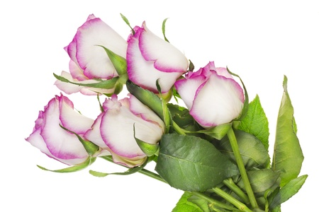 wilting: Wilting lonely delicate pink roses  flowers  bush isolated