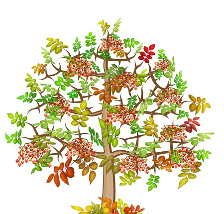 ash tree: Mountain ash abstract autumn  lonely  big tree with red berries   illustration  isolated