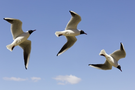 sulight: Three phases of flight birds gulls in the blue  sky - up, right  and down. Selective focus