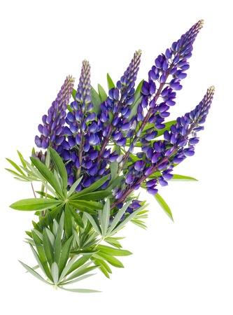 lupin: Flying Blue isolati fiori estivi Bluebonnet con il concetto di foglie