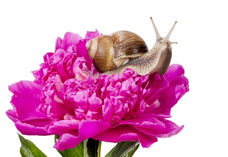 grape snail: Big Grape Snail is sitting on a pink June Peony flower field with the dew drops of rain and fog. Isolated on white, selective focus Stock Photo