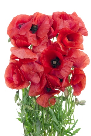 wilting: Simple  floral bouquet of wilting red wild field  poppies flowers  isolated