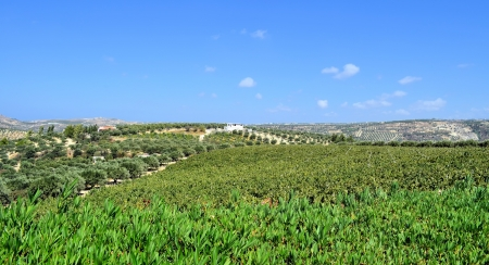 Plantation of olive trees and  grapes with blue sky landscape, the island of Crete, Greece photo