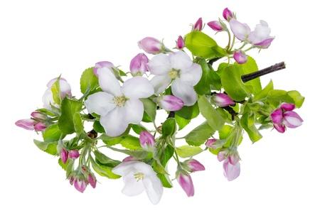 apple blossom: Pink apple tree flowers macro isolated studio shot Stock Photo