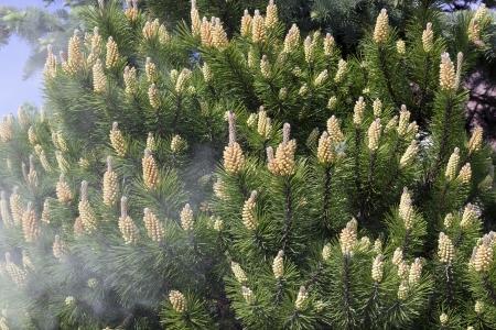 sporen: Shedding von Pollen aus den Bl�ten des Fr�hlings dekorative Kiefer Hintergrund. Selektiver Fokus. Allergene Konzept Lizenzfreie Bilder
