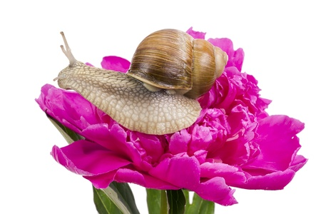 grape snail: Big Grape Snail is sitting on a pink June Peony flower field with the dew drops of rain and fog. Isolated on white, art selective focus