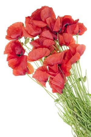 wilting: Bouquet floral simple de marchitamiento rojas amapolas silvestres flores de campo aislada