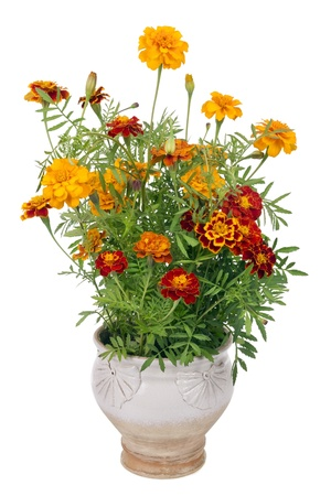 pot of gold: Flowers of Saffron  (Tagetes)  bush - used as a spice and medicinal plant- in simpe rural mass production ceramic pot.   Isolated