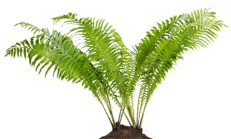 Fern forest real big bush grow in soil land isolated