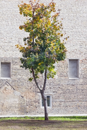 Lonely autumn maple tree near of brick wall in old town  concept. Sunny day photo