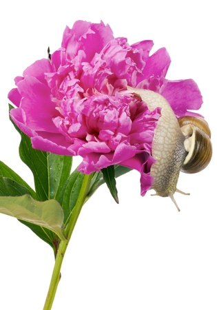 grape snail: In search of the best exit concept- the grape snail wants to leave a peony flower -isolated