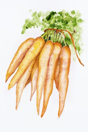 grown up: Ecological   carrot - is grown up without fertilizers - handmade watercolor painting illustration on a white paper art background Stock Photo