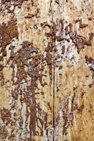 crinkles: Bark of a pine was eaten by larvae of a bug of the bark termites beetle background. Stock Photo