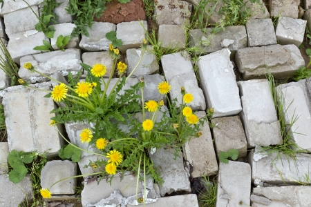 Life and flowers stronger than stone concept. Yellow dandelions grow through bricks