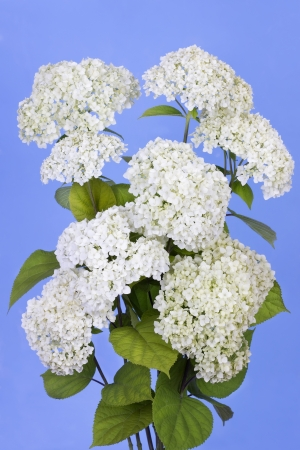 Blue sky and white terry flowers on bush branches photo