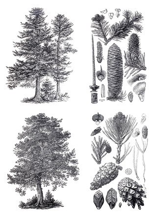 Retro vintage silhouettes of a European pine and Siberian fir trees. An engraving illustration from the public domain dictionary ( published in 1905). Isolated on white