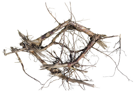 abracadabra: Wooden abracadabra concept. Dry death trees root isolated