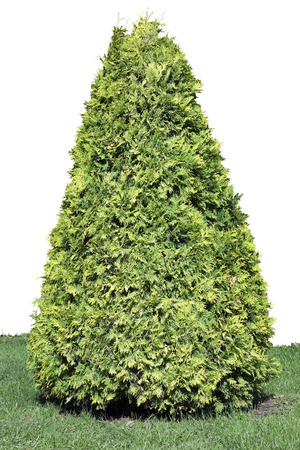 pyramidal: Big pyramidal evergreen coniferous thuja tree isolated with patch