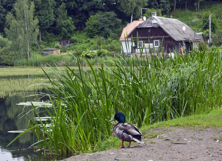 forester: The wild duck has a rest on the bank of the lake near the house of the forester. Soft focus