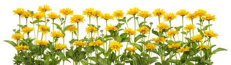 seed bed: Mini yellow summer sunflowers on bed isolated  line