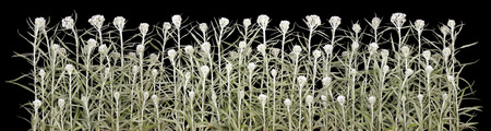 awful: The white pale fleecy awful  plant grows on a cemetery.  Halloween plants isolated on black big border concept Stock Photo