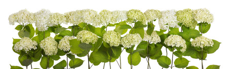 clusters: Isolated tragic mourning white and green magnificent clusters of flowers big line Stock Photo
