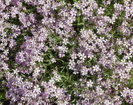 forgot: Pink wild myosotis flowers  spring background. Selective art focus