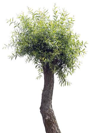 maldestro: Il goffo un albero di salice brutto isolato su bianco. Giornata di sole estivo Archivio Fotografico