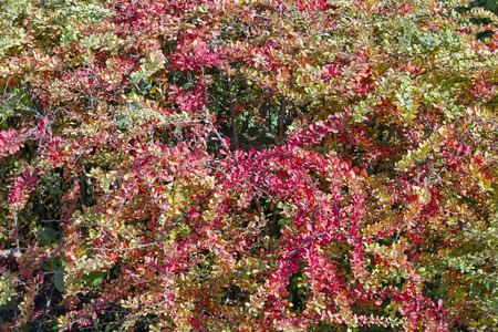 barberry: Red and yellow autumn leaves of an barberry bush background Stock Photo