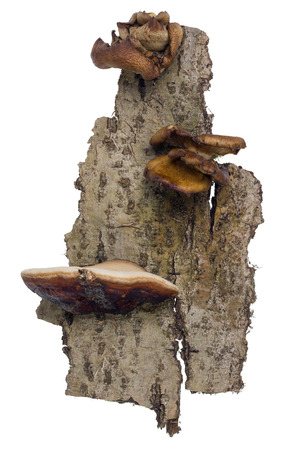 polyps: Piece of bark a tree aspen with brown mushrooms polyps isolated Stock Photo