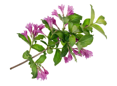 ideal: Ideal green bush spring branch with magenta buds   isolated Stock Photo
