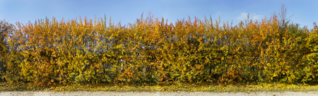 Golden and yellow autumn bushes as a green hedge against the cyan sky. Panoramic image from several frames. Sunny day